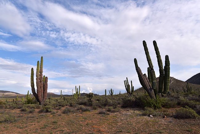 Cardon cactus in the Vizcaino Desert