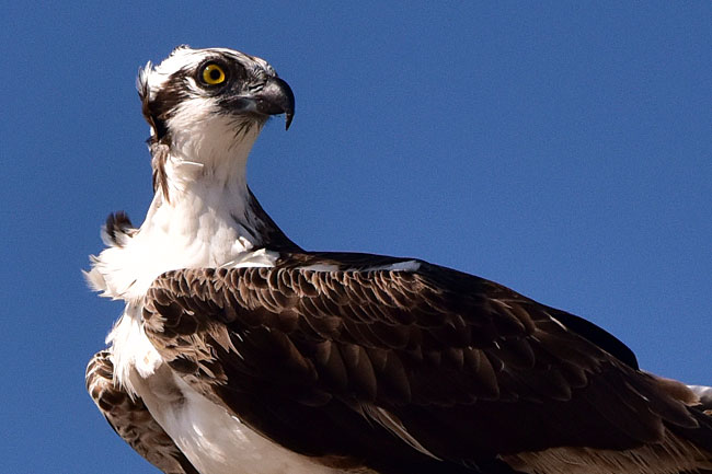An osprey in Guerrero Negro...we'll see a lot of them