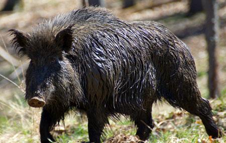 Here piggy, piggy, piggy...