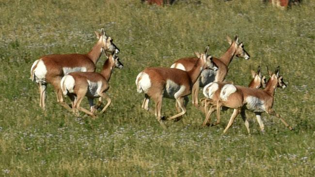 Antelope running free on the Wyoming plains
