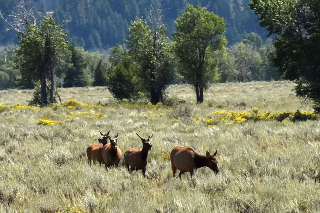 Elk in Grand Teton National Park, photographed by Sue